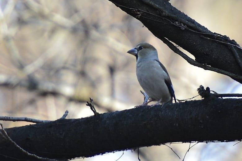 シメ(Hawfinch)       —15.12.28—