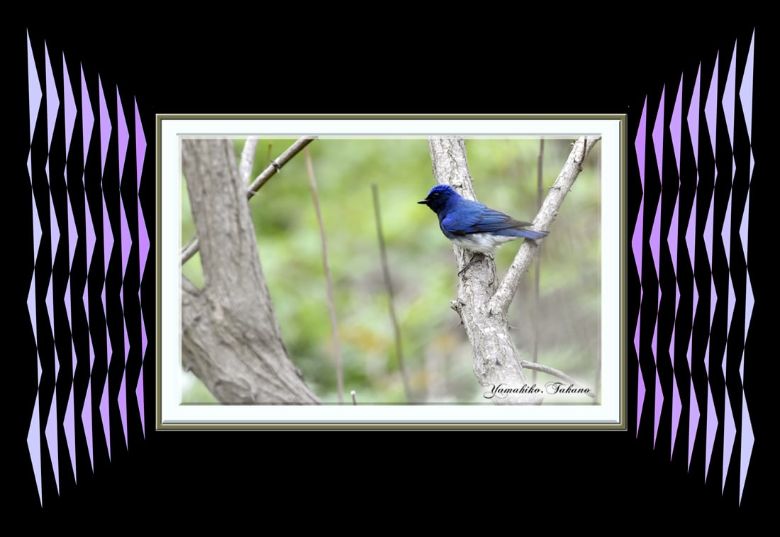 オオルリ(Blue &White Flycatcher)           —14.8.9—