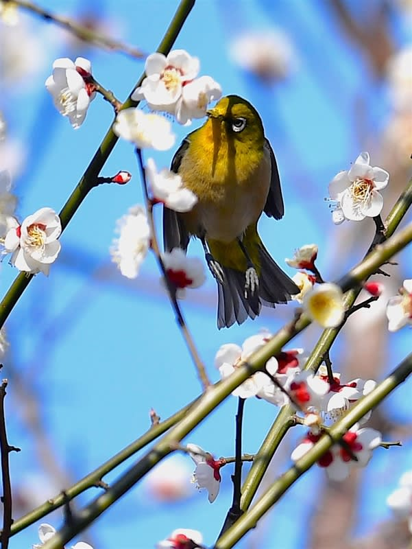 メジロ(Japanese  White  Eye)     —2018.2.23—