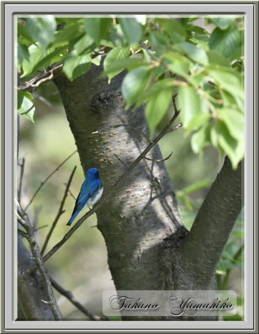 オオルリ(Blue &White Flycatcher)           —14.5.5—