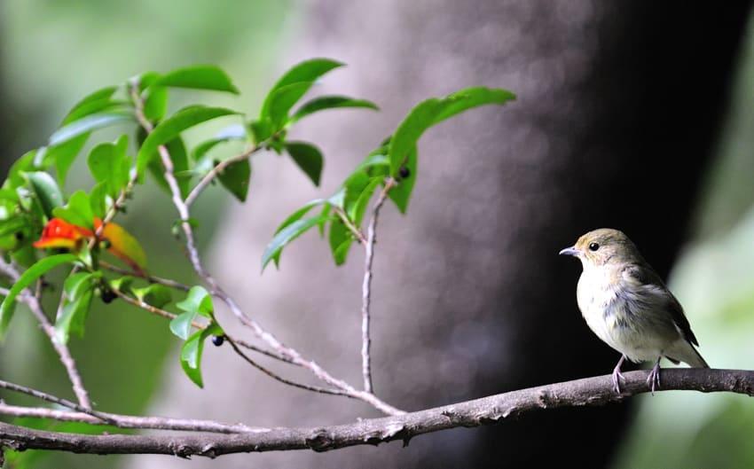 弘法山の小鳥たち—キビタキ♀、エゾビタキ、コサメビタキ他—09.10.19—