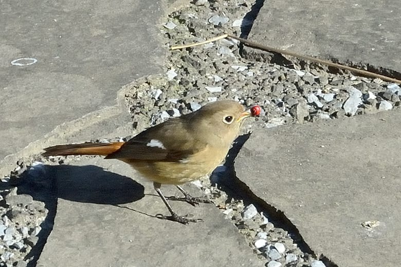 ピラカンサに来た小鳥たち   —2013.1.12—