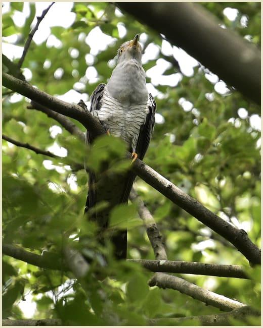 カッコウ(Eurasian Cukoo)     —15.6.8—