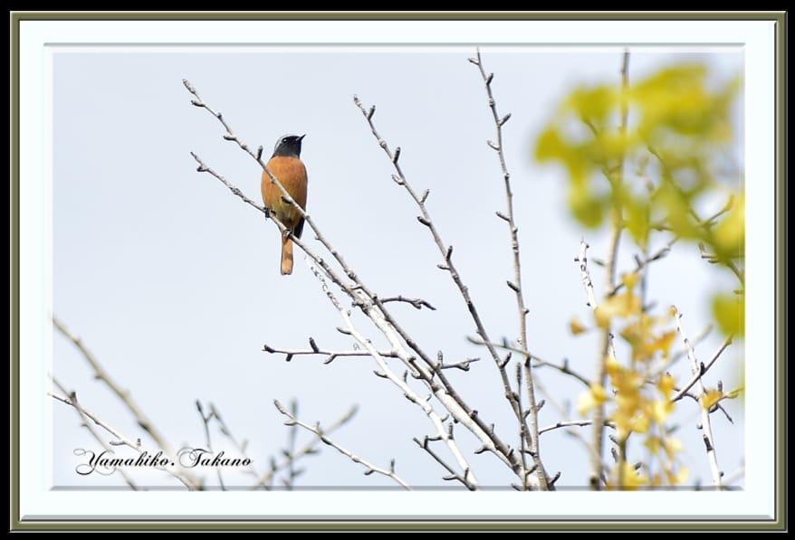 ジョウビタキ(Daurian Redstart) ♂       —15.10.29—