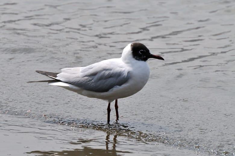 ユリカモメ Black-headed Gull (Chroicocephalus ridibundus) —12.4.6—