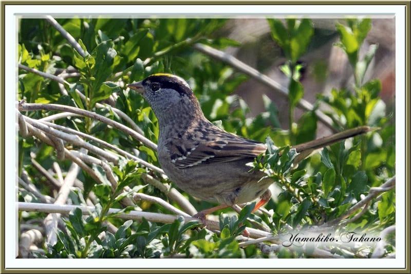 キガシラシトド【Golden-crowned Sparrow】は夏羽の装いを身につけ、颯爽と登場。—2011.4.15—