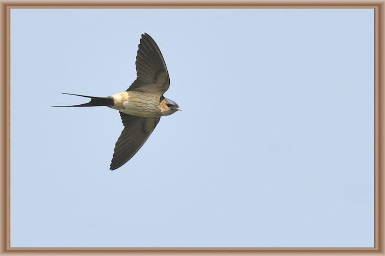 コシアカツバメ(Red-rumped swallow)の飛翔が撮れました。—11.5.2—