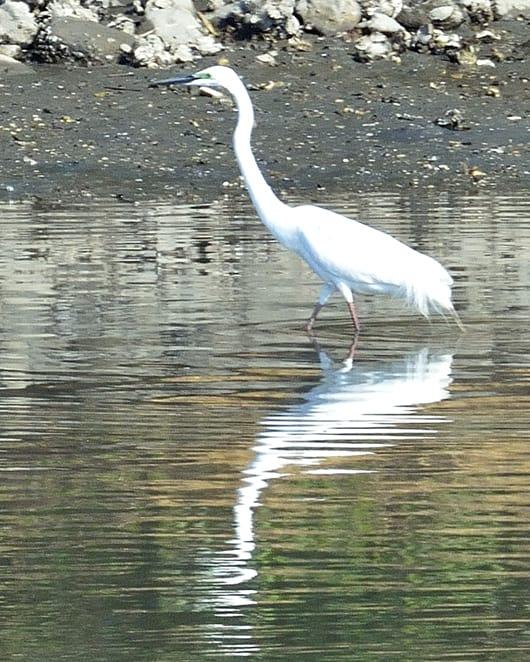 チュウダイサギ(Greate Egret)      —13.4.30—
