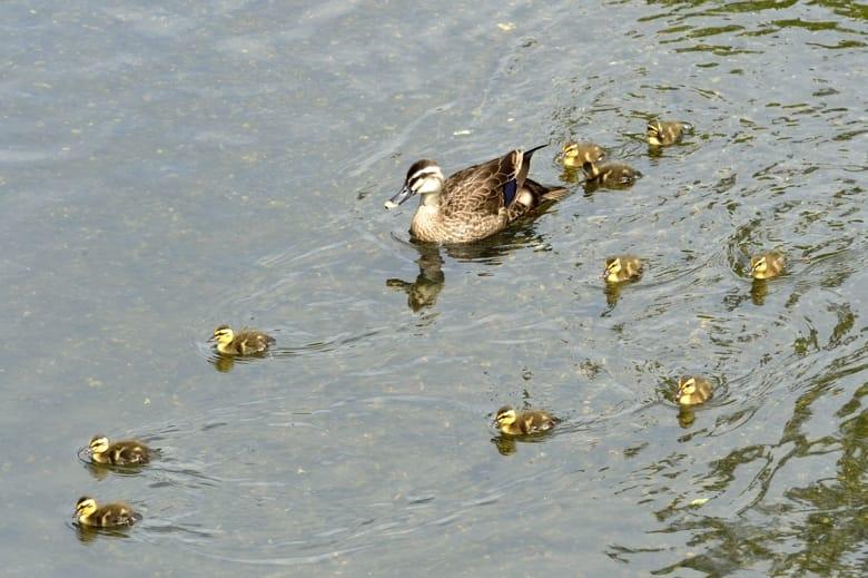 カルガモ(Spot-billed Duck)の雛が10羽誕生!—13.6.16—