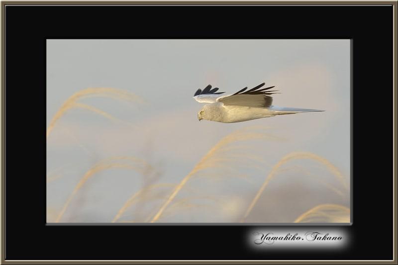 ハイイロチュウヒ( Hen Harrier )を撮影。  —2013.1.21—