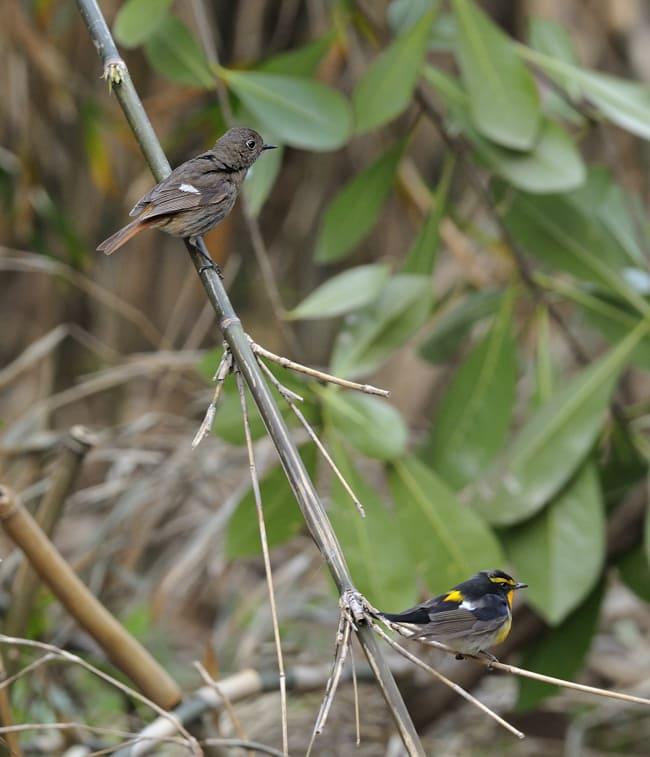 舳倉島④ 黄色い小鳥たち