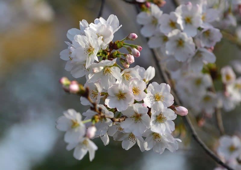 桜(ソメイヨシノ)が咲き始めました  —2019.321—