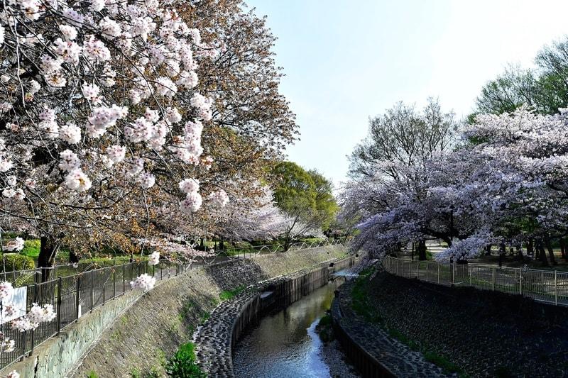 善福寺川界隈の桜風景    —2018.4.8—