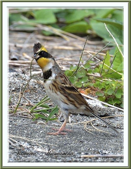 秋の舳倉島で逢った野鳥たち -A.ミヤマホウジロ(Yellow-throated Bunitng)–2012.10.10~12—