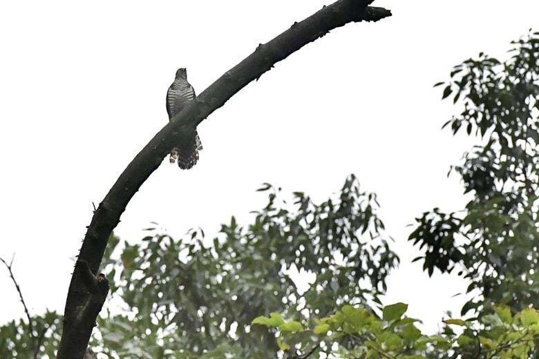 ツツドリ(Orient Cuckoo)           —2016.9.22—