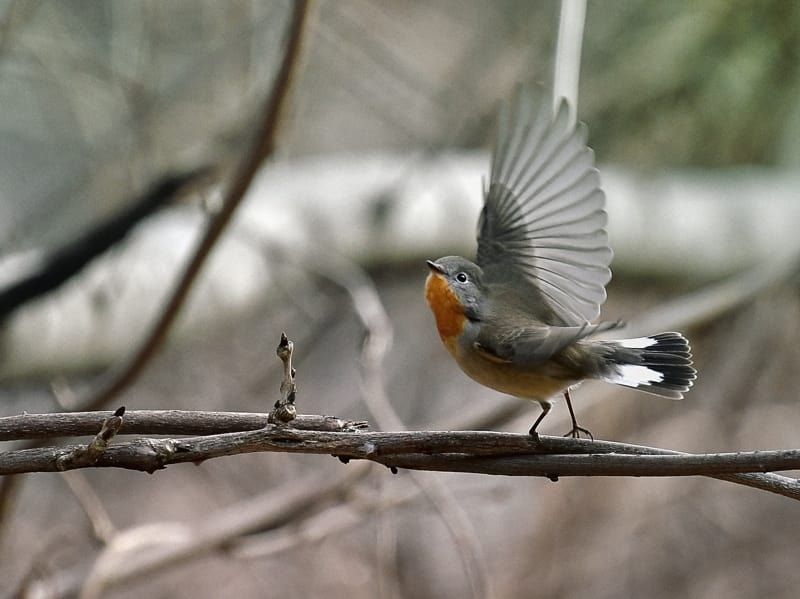 珍鳥ニシオジロビタキ(Red-breasted  Flycatcher)   ⑤   —2016.12.13—