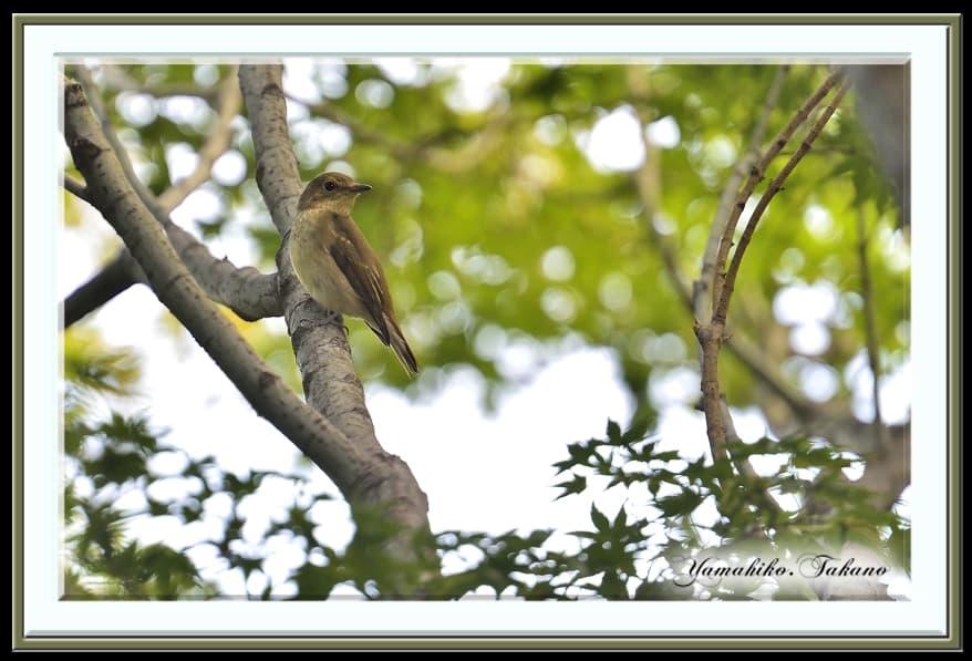 キビタキ(Narusisus Flycatcher)♀     —13.9.30—