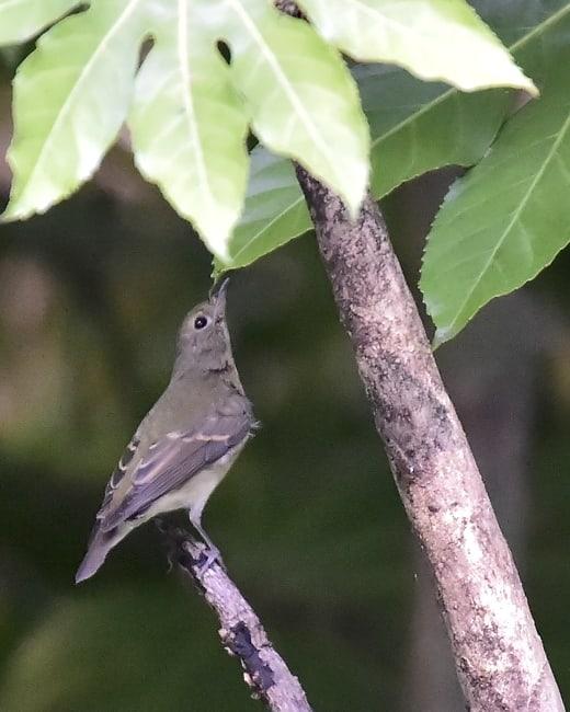 キビタキ(Narusisus Flycatcher)♀特集     —14.9.14—