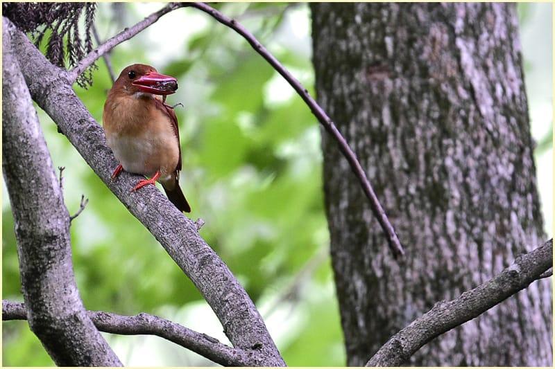 アカショウビン-赤翡翠(Ruddy kingfisher)  —'15.7.18—