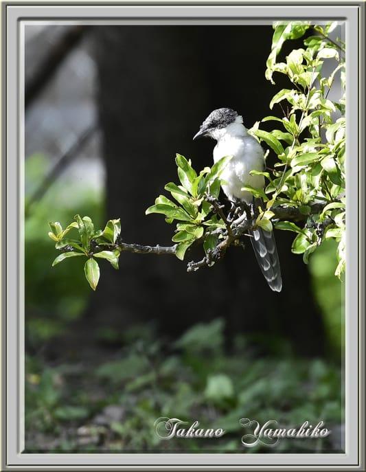 オナガ(Azure-winged Magpie)  —'14.10.20—