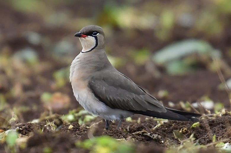 珍鳥-ツバメチドリ( oriental pratincole)                 —2016.4.22—