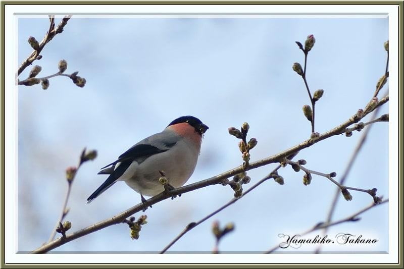ウソ(Bullfinch)桜蕾の頃    —2013 .03.15—