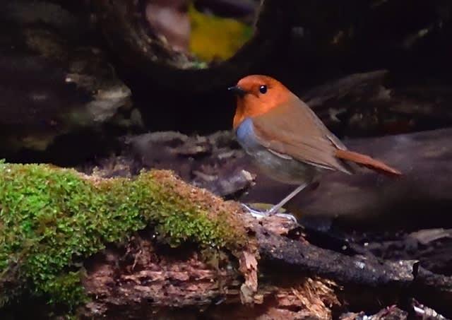 コマドリ(Japanese Robin)  — 2019.4.24—