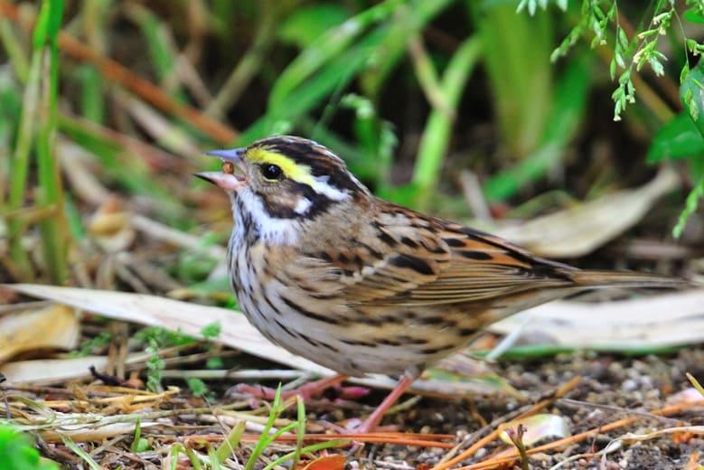 舳倉島でのLiferの野鳥たち—2012.5.5~8—