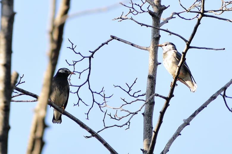 善福寺川緑地公園の一角、広い農地を持つ、T氏の敷地の欅に来る小鳥達②—10.12.29—