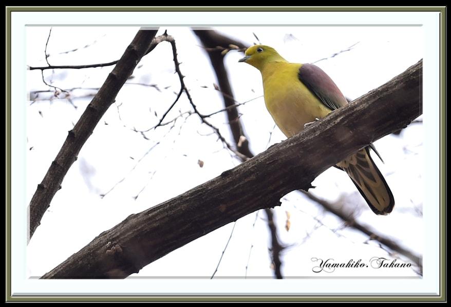 アオバト(White-bellied Green Pigeon)    —'15.2.27—