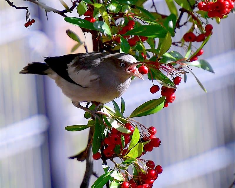 珍鳥カラムクドリ(white-sholdered Starling)  —2017.12.27–