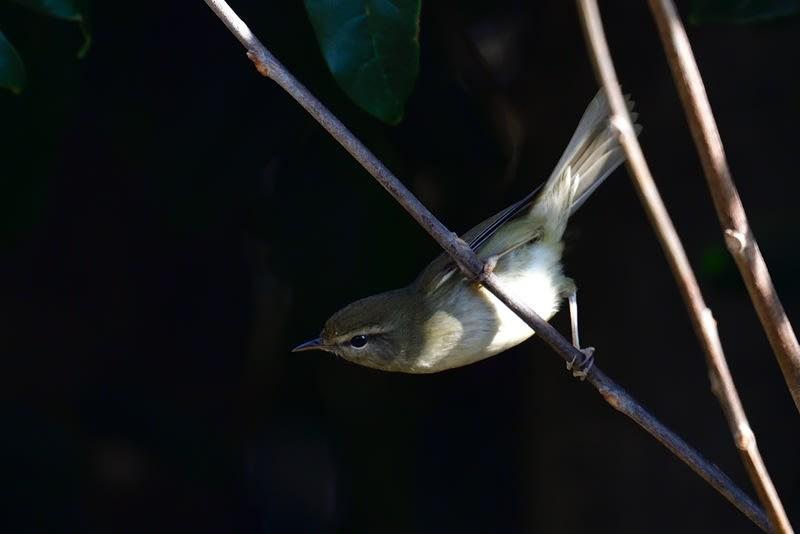 真冬のウグイス(Japanese Bush Warbler)          —2019.1.8—