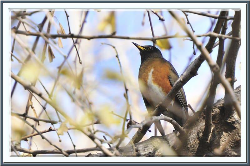 アカハラ(Brown-headed Thrush)、カワラヒワ(Oriental Greenfinch)を今冬初撮り—-11.12.28—