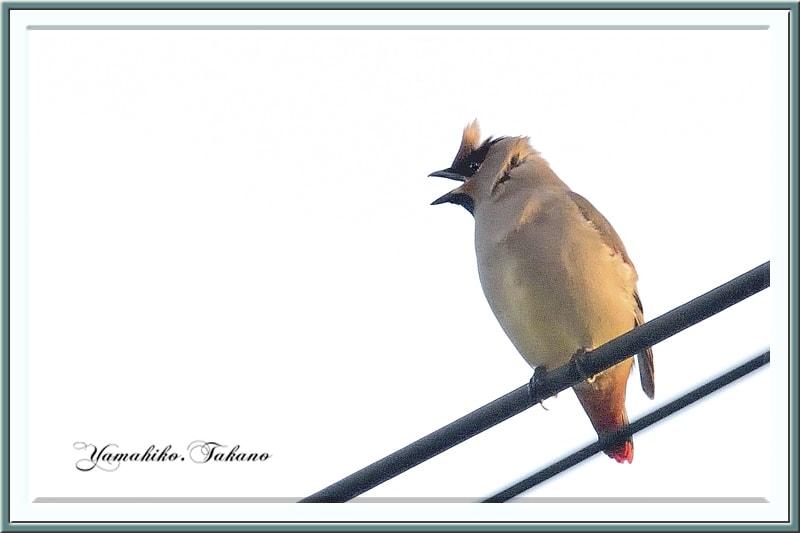 秋の舳倉島で逢った野鳥たち-F.ヒレンジャク(Japanese Waxwing )–12.10.10~12–