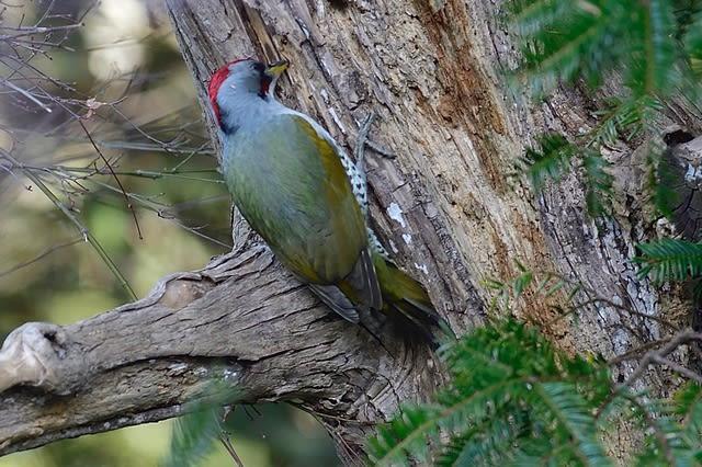 アオゲラ(Japanese Green Woodpecker) 他  —2019.2.23—