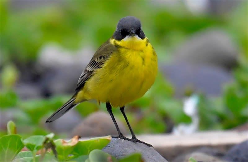 珍鳥キタツメナガセキレイ(Motacilla flava macronyx)ー舳倉島特集②      —2018.5.17—