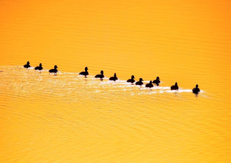 水鳥の群れの夕景『ヨ〜イドン!』が入賞ー『特別賞』を拝受