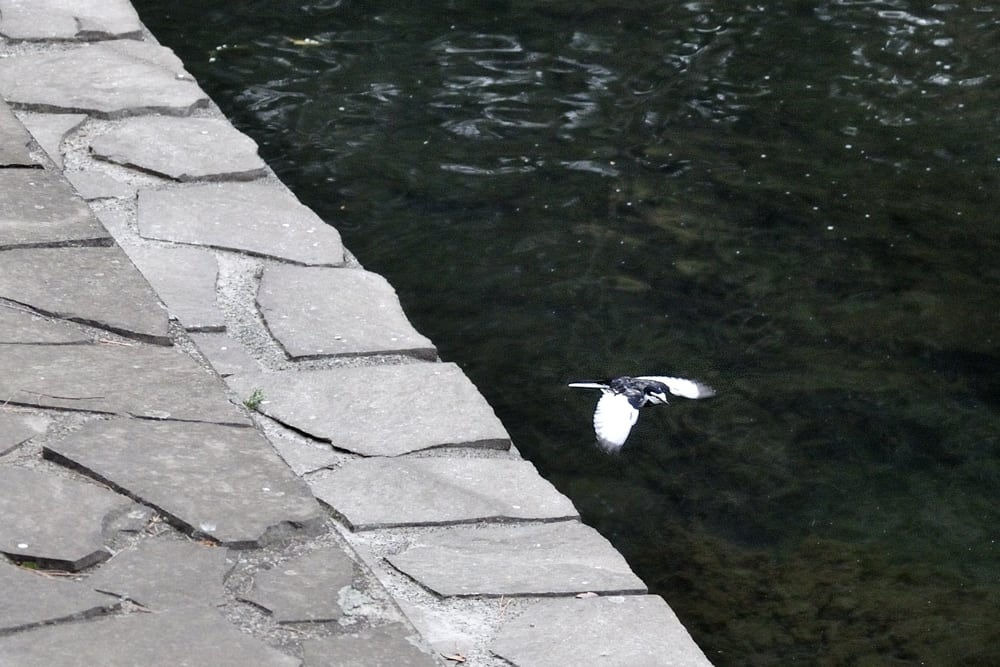 セキレイの動きと  池に来る鴨仲間(09.1.19)