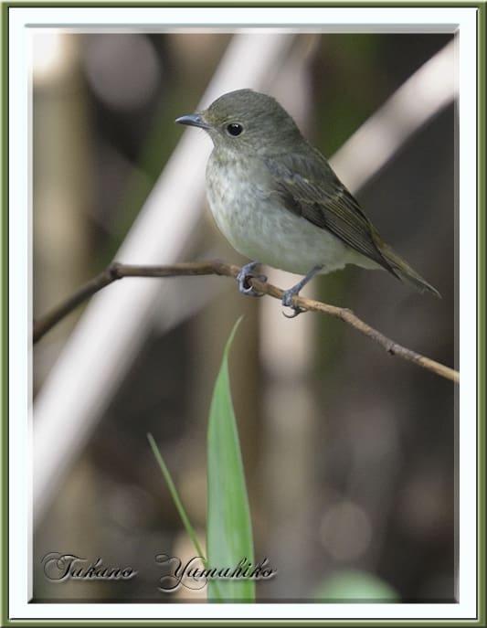 舳倉島の野鳥たちーーその他      —2012.10.12—