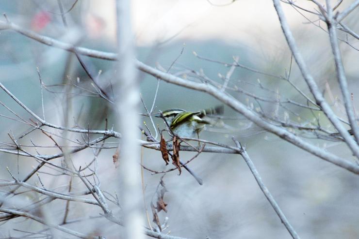カラフトムシクイ 和田堀近辺で撮影。 旅鳥なので滞在は数日間か!?