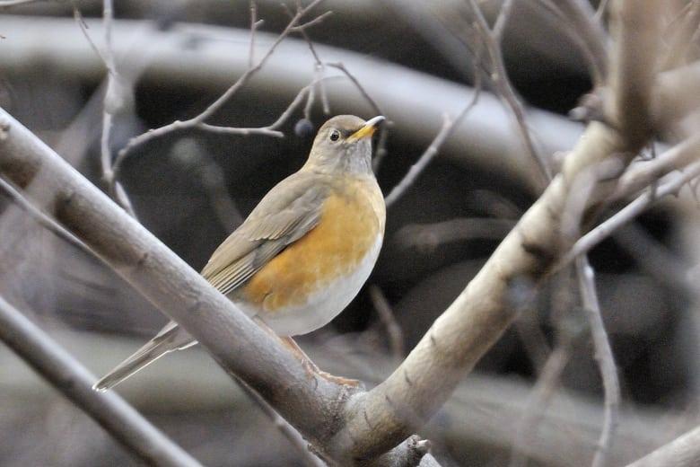 アカハラBrown-headed Thrush (Turdus chrysolaus) ほか、竹藪をバックにした野鳥の楽園—12.2.12—