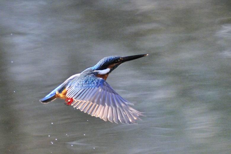 カワセミCommon Kingfisher再び—12.2.10—