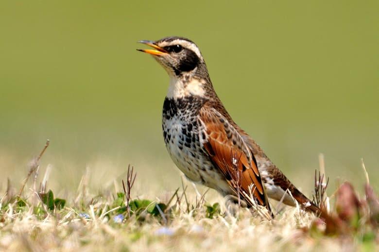 彩湖の初春の野鳥たち—12.4.9—