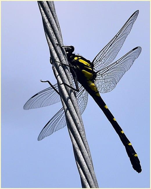 オニヤンマが大きなアゲハチョウを捕獲    —'15.7.11—