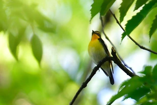 キビタキ(Narcissus  Flycatcher)が次々と公園の森に・・・ —2017.4.30—