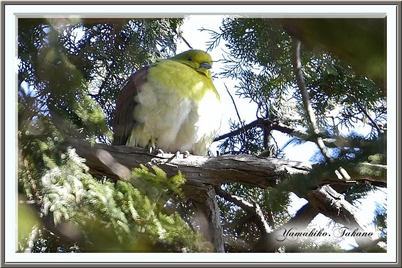アオバト(White-bellied Green Pigeon)    —'15.2.20—