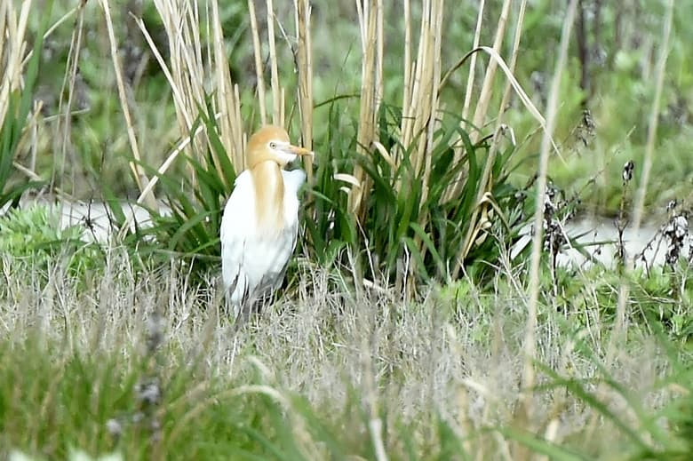 アマサギ(Cattle Egret)       —14.5.3—