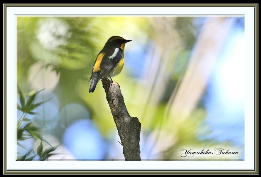 キビタキ(Narusisus Flycatcher)♂♀     —13.9.28—