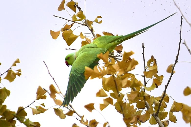 ワカケホンセイインコ(Indian Rose-necked Parakeet )    —15.11.29—