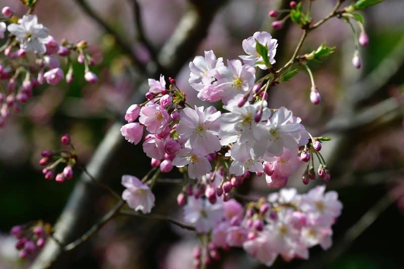 「思ひ川」 という名の桜